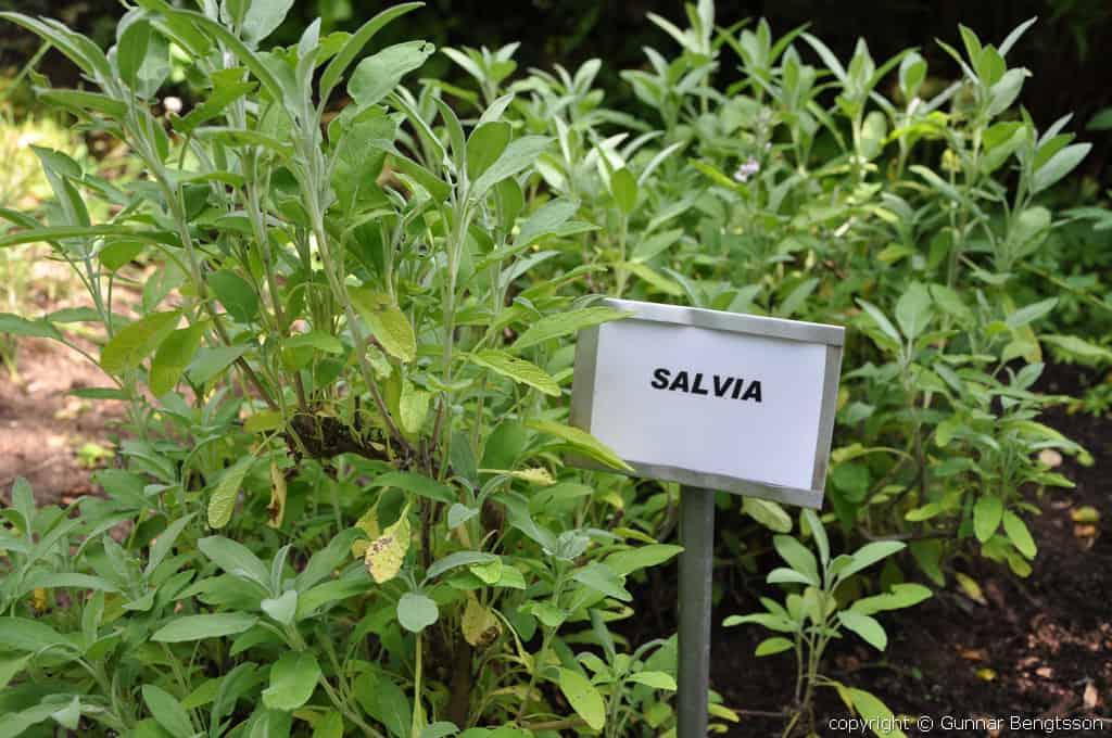 Salvia i örtagården